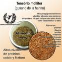 Tenebrio Mollitor Gusano de la harina