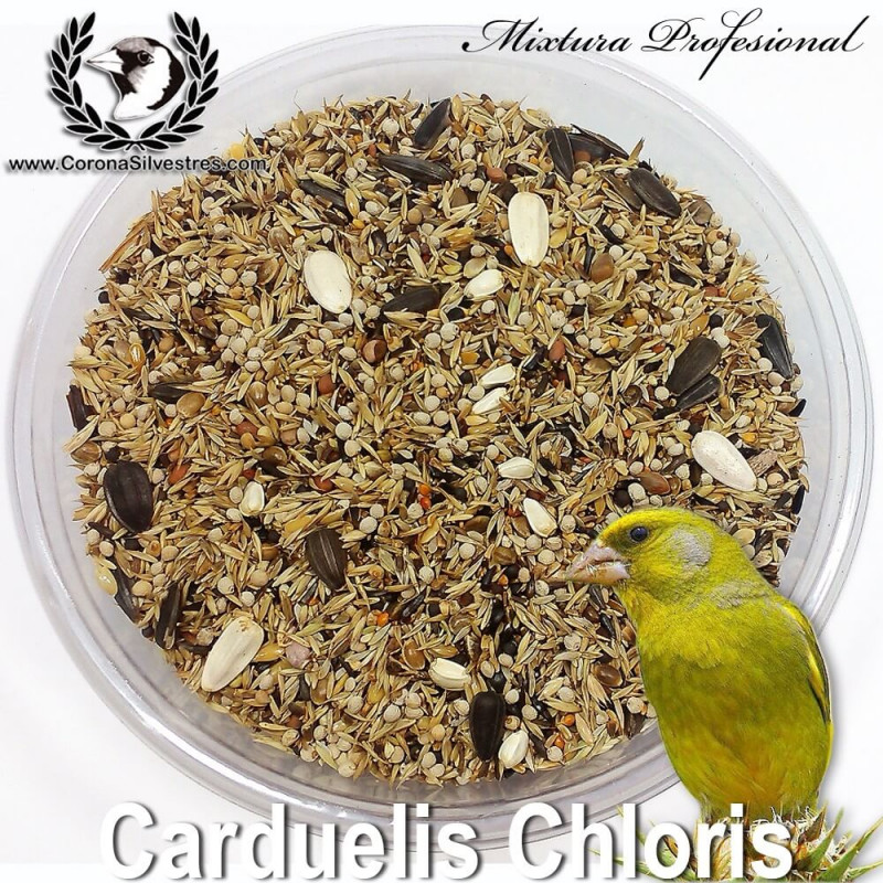 Carduelis chloris