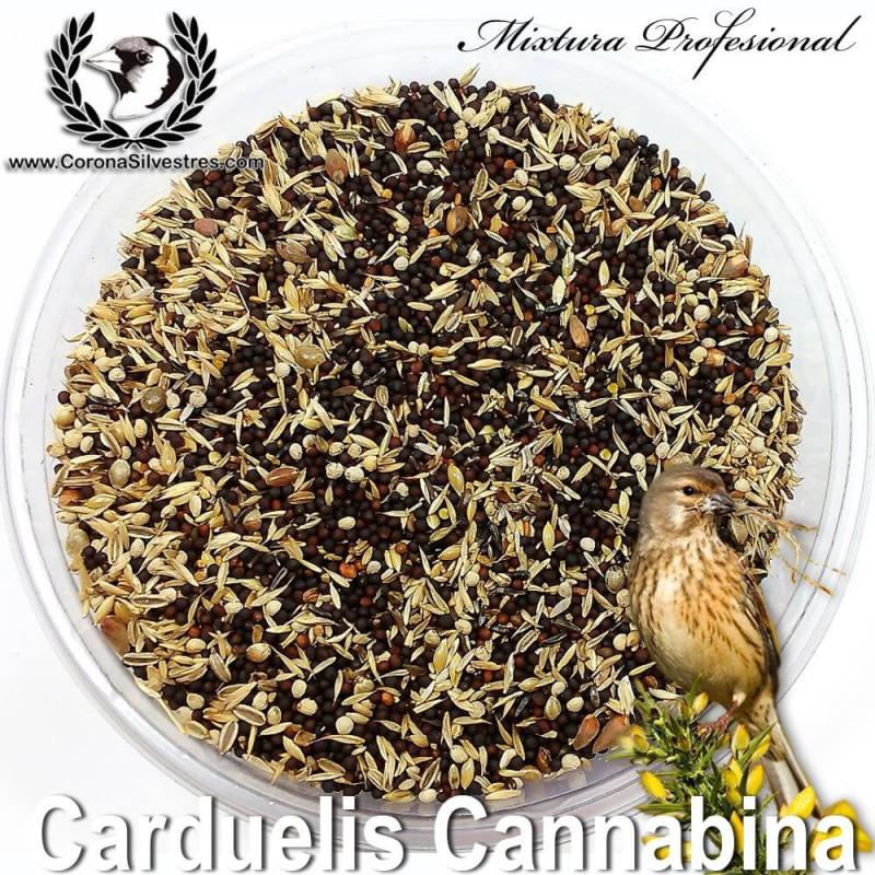 Carduelis Cannabina