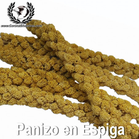 Panizo en Espigas (9-10 espigas) Bolsa